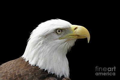 Photograph - Bald Eagle #2 V2 by Judy Whitton