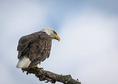 Photograph - Bald Eagle 2017-4 by Thomas Young