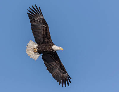 Photograph - Bald Eagle 2018-1 by Thomas Young