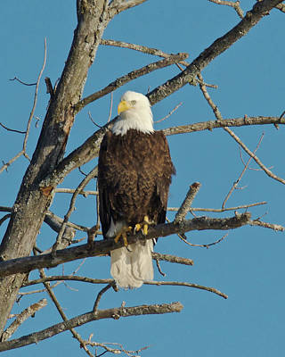 Photograph - Bald Eagle 2519 by Michael Peychich