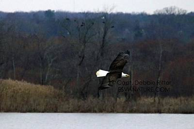 Photograph - Bald Eagle 2664 by Captain Debbie Ritter