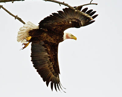 Uncle Sam Posters Rights Managed Images - Bald Eagle 2714 Royalty-Free Image by Michael Peychich