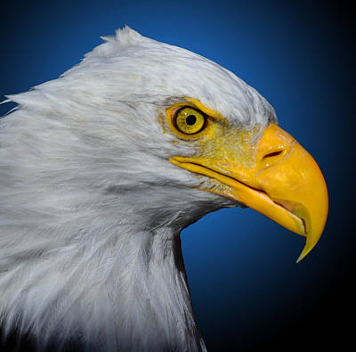 Photograph - Bald Eagle 3 by Brian Stevens