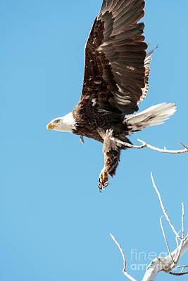 Photograph - Bald Eagle 3 by Catherine Lau
