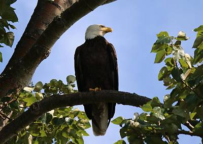 Photograph - Bald Eagle - 3  by Chad Pooschke