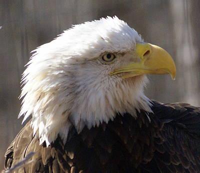 Bald Eagle 3 Art Print by Marty Koch