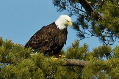 Photograph - Bald Eagle 3295 by Michael Peychich