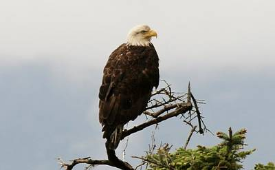 Photograph - Bald Eagle - 4 by Christy Pooschke
