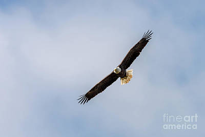 Photograph - Bald Eagle 4 by Patrick Shupert