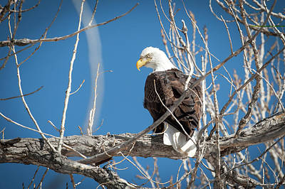 Photograph - Bald Eagle 5 by Catherine Lau
