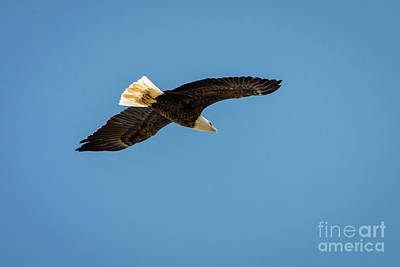 Photograph - Bald Eagle 5 by Patrick Shupert