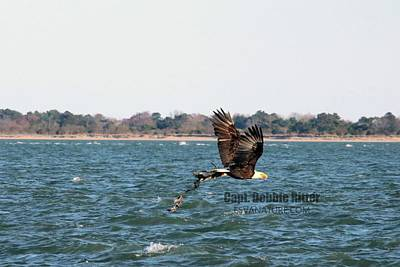 Photograph - Bald Eagle 5753 by Captain Debbie Ritter
