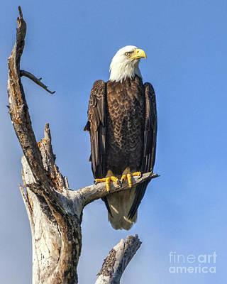 Bald Eagle 6366 Art Print