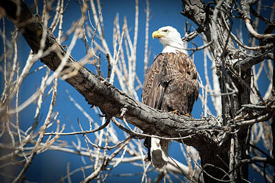 Photograph - Bald Eagle 7 by Catherine Lau