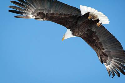 Photograph - Bald Eagle 8 by Catherine Lau