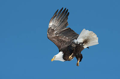 Photograph - Bald Eagle 9 by Catherine Lau