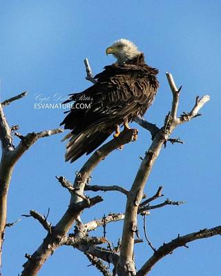 Photograph - Bald Eagle 9082 by Captain Debbie Ritter