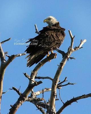 Photograph - Bald Eagle 9082 by Captain Debbie Ritter