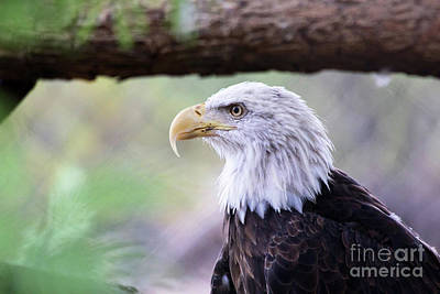Photograph - Bald Eagle by Afrodita Ellerman