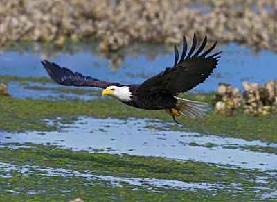 Airport Maps - Bald Eagle after the catch by Gary Langley