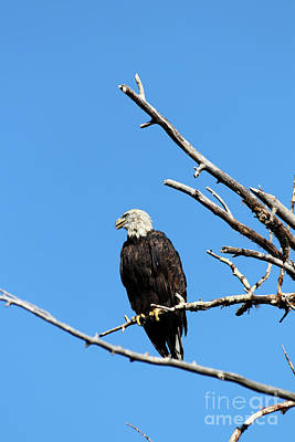 Photograph - Bald Eagle by Alyce Taylor
