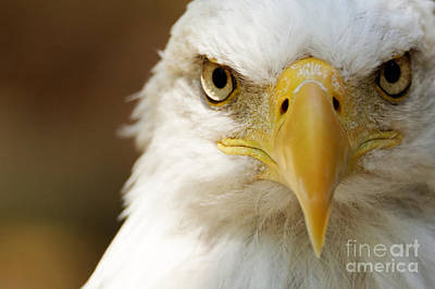 Photograph - Bald Eagle - American Eagle by Sue Harper