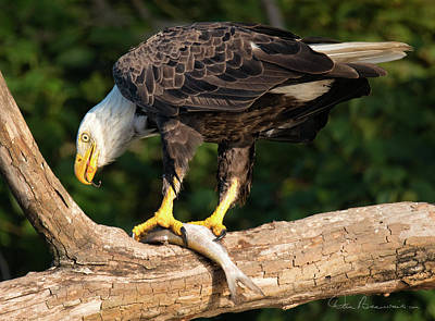 Dan Beauvais Royalty Free Images - Bald Eagle and Fresh Catch 3093 Royalty-Free Image by Dan Beauvais