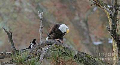 Black Photograph - Bald Eagle And Friend by Gary Wing