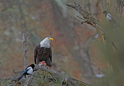 Black Photograph - Bald Eagle And Magpie by Gary Wing