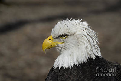 Photograph - Bald Eagle by Andrea Silies