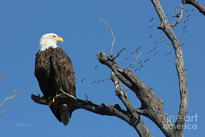 Photograph - Bald Eagle At East Lake by E B Schmidt