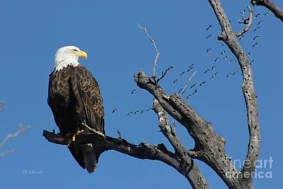 Photograph - Bald Eagle At East Lake by E B Schmidt
