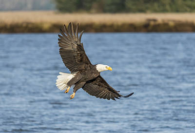 Photograph - Bald Eagle At The River by Loree Johnson