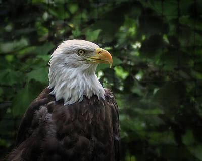 Photograph - Bald Eagle At The Salisbury Zoo by Bill Swartwout