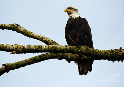 Photograph - Bald Eagle Back From The Hunt by Bob Christopher