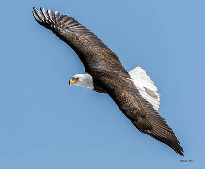 Photograph - Bald Eagle Banking A Turn by Stephen Johnson