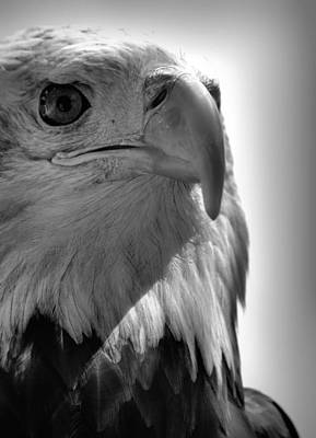Photograph - Bald Eagle Black And White by Nadalyn Larsen