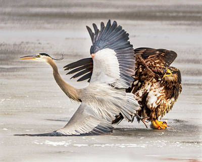 Photograph - Bald Eagle/blue Heron by Norman Hall
