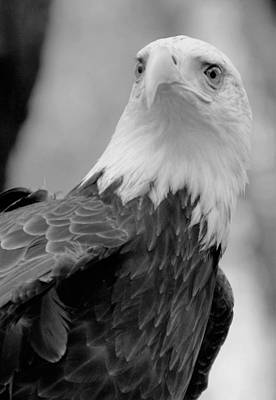 Photograph - Bald Eagle Bw by Charles HALL