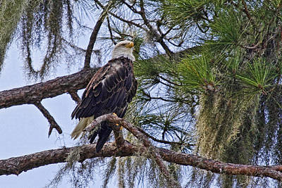 Bird Photograph - Bald Eagle By H H Photography Of Florida by HH Photography of Florida