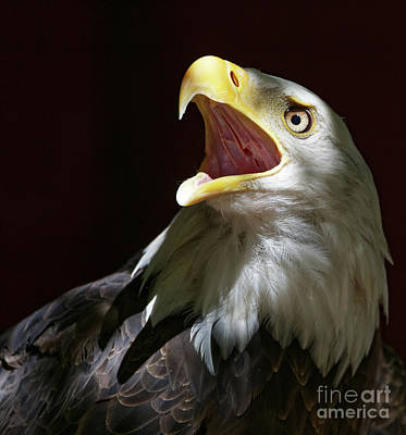 Photograph - Bald Eagle - Call Of The Wild 2 by Sue Harper