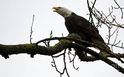 Photograph - Bald Eagle Call Of The Wild by Bob Christopher