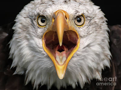 Bald Eagle Calling Art Print