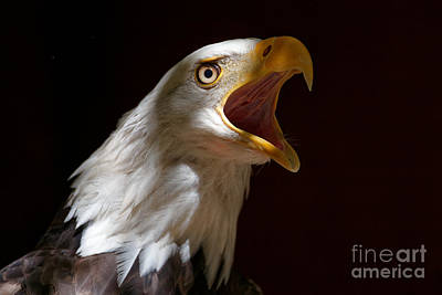 Photograph - Bald Eagle - Calling Loud by Sue Harper