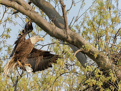 Photograph - Bald Eagle Catch Of The Day  by Richard Kopchock