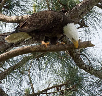 Photograph - Bald Eagle Cleaning Beak After Feeding Young by Richard Goldman