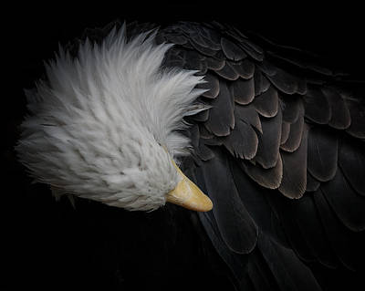 Photograph - Bald Eagle Cleaning by Ernie Echols