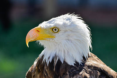 Vermeer Rights Managed Images - Bald Eagle Closeup Royalty-Free Image by Dwayne Schnell