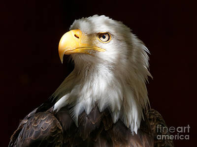 Photograph - Bald Eagle Closeup Portrait by Sue Harper
