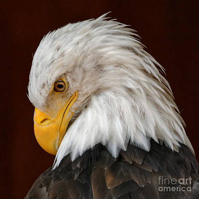 Photograph - Bald Eagle Contemplation by Sue Harper
